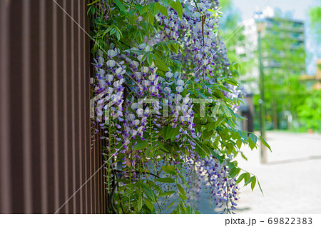 公園に咲く藤の花 69822383