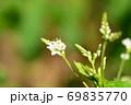 小さく綺麗な蕎麦の花 69835770