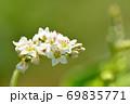 小さく綺麗な蕎麦の花 69835771