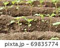 成長した蕎麦の芽 69835774