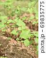 成長した蕎麦の芽 69835775