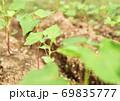 成長した蕎麦の芽 69835777