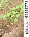 成長した蕎麦の芽 69835778