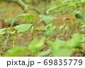 成長した蕎麦の芽 69835779