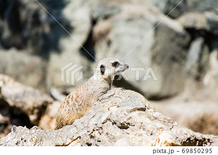 岩の上で遠くを見るミーアキャット エジンバラ動物園にて 69850295