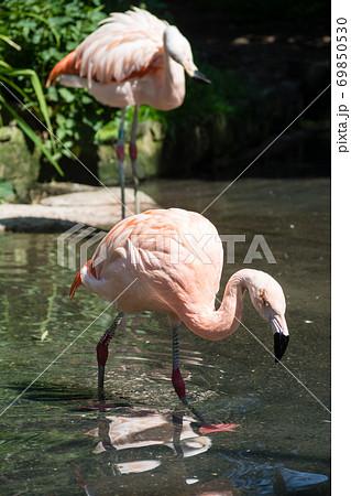 ピンクのきれいなフラミンゴ エジンバラ動物園にて 69850530