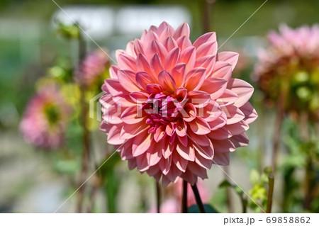 グラデーションがきれいな満開のピンクのダリア 69858862