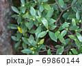 ジンチョウゲの冬芽と雨雫 69860144