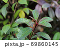 カナメモチの冬芽と雨雫 69860145