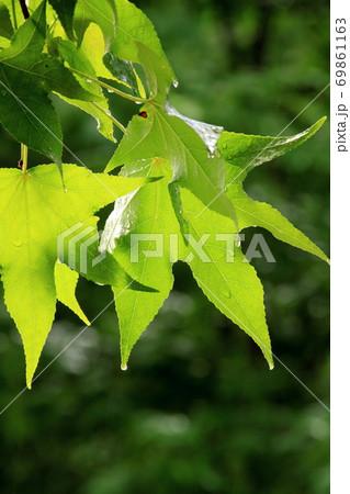 雨上がり、しっとりと濡れた楓の葉 69861163