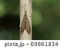 生き物 昆虫 ホシウスバカゲロウ、九月の雑木林。細い立ち木に止まって夜を待つ? 69861834