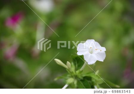 静かな場所で咲いているオシロイバナ 69863543