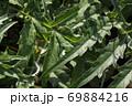 チョウセンアザミの葉と雨雫 69884216
