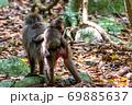 母の背に乗ったヤクザルの子ども(8月)世界自然遺産屋久島 69885637