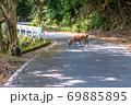 春の緑の回廊でくつろぐヤクシカとヤクザル(4月)世界自然遺産屋久島 69885895