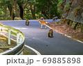 夏の緑の回廊を移動するヤクシカとヤクザル(8月)世界自然遺産屋久島 69885898