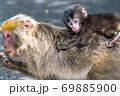 母の背に乗ったヤクザルの子ども(8月)世界自然遺産屋久島 69885900