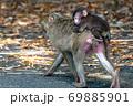 母の背に乗ったヤクザルの子ども(8月)世界自然遺産屋久島 69885901