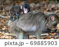 母の背に乗ったヤクザルの子ども(8月)世界自然遺産屋久島 69885903