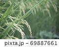収穫前の塾した稲穂 69887661