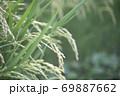 収穫前の塾した稲穂 69887662