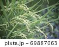 収穫前の塾した稲穂 69887663