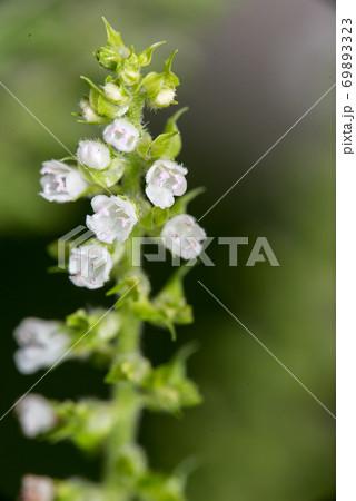 咲き始めのシソの花 アップで撮影 69893323