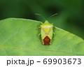 生き物 昆虫 ヒメハサミツノカメムシ、メスです。オスはお尻のハサミがあるのですが・・・ 69903673