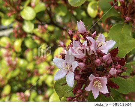 かわいくてきれいなヒメシャリンバイの花 69911934