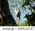 池の畔で羽を休めるアオサギ 69914297