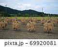 昔ながらの天日干しのお米の風景 69920081