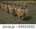昔ながらの天日干しのお米の風景 69920082