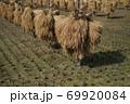 昔ながらの天日干しのお米の風景 69920084