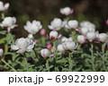 ハナカンザシの花の蕾 69922999