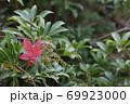 アセビの葉と花の蕾とモミジの紅葉と雨雫 69923000