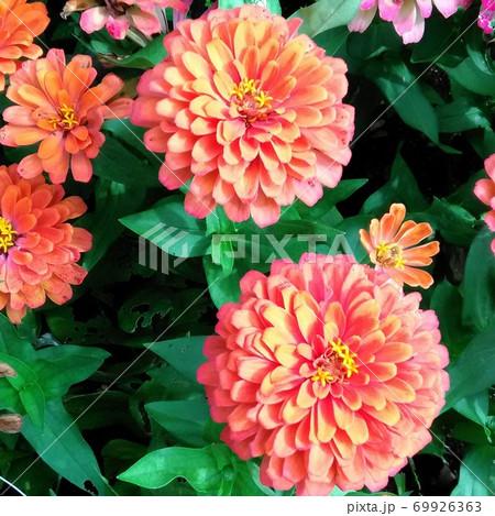 鮮やかなオレンジ色の花クローズアップ 69926363