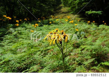 鷹ノ巣山に群生するマルバダケブキの花 69932512