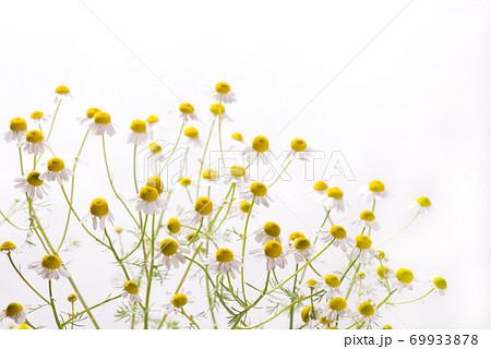 白バックのジャーマンカモミールの花 69933878