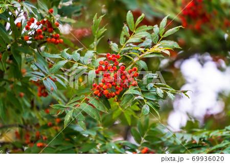初秋に色づくナナカマド 北海道安平町 69936020
