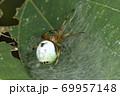 生き物 蜘蛛 ビジョオニグモ、秋に見られるクモ。お腹の模様はお面のようですが美女には程遠い? 69957148