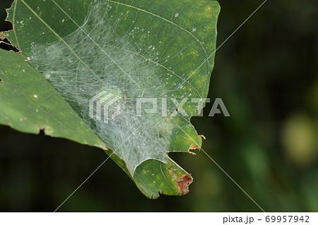 生き物 蜘蛛 ビジョオニグモ、シェルター(巣)に隠れているときは下面の緑色を見せています 69957942