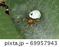 生き物 蜘蛛 ビジョオニグモ、秋に見られるクモ。初夏に見られる似た姿のクモは『アオオニグモ』 69957943