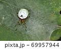 生き物 蜘蛛 ビジョオニグモ、メスです。模様は多少変異があり、こちらは不機嫌なチョビ髭のおっさん顔 69957944