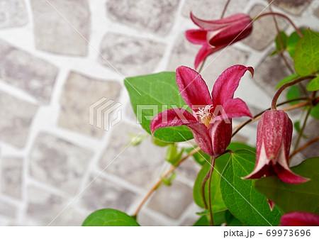 石畳のプリンセスダイアナ・ガーデンの鮮やかピンククレマチス 69973696