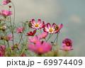 秋の花コスモス 69974409
