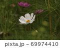 秋の花コスモス 69974410