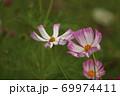 秋の花コスモス 69974411
