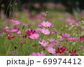 秋の花コスモス 69974412