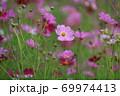 秋の花コスモス 69974413