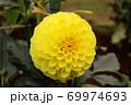 「黄望(きぼう)」という名のダリア 69974693